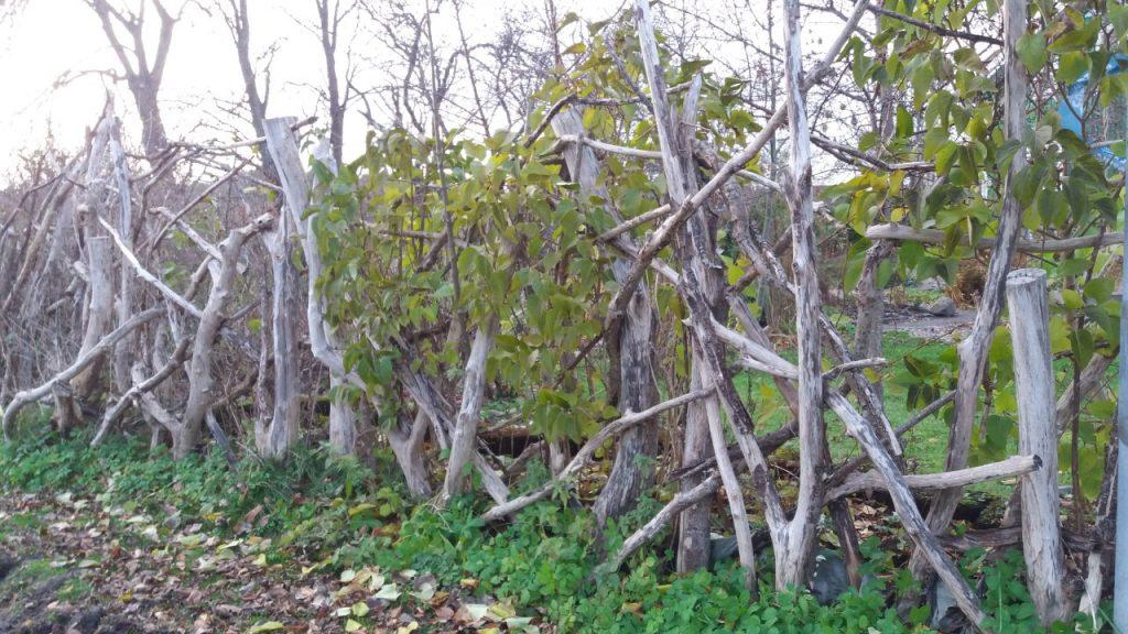 Staket av gamla grenar med kaprifol