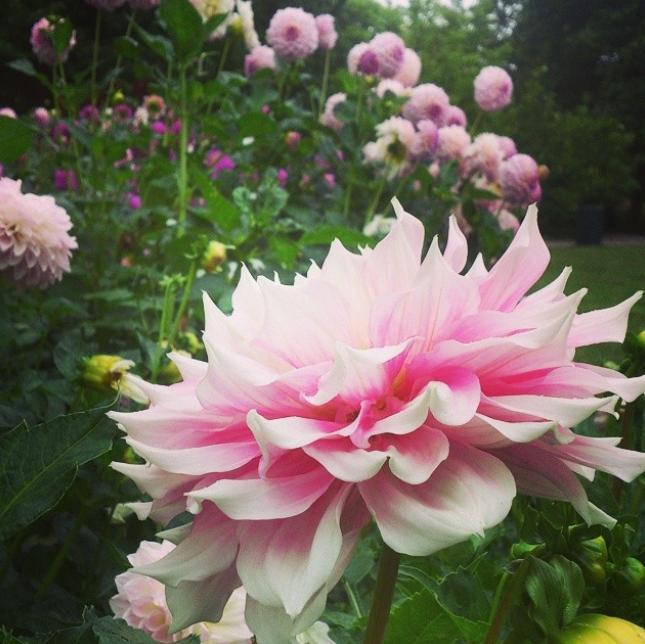 Bild från Instagram gardenasa,  dahlia