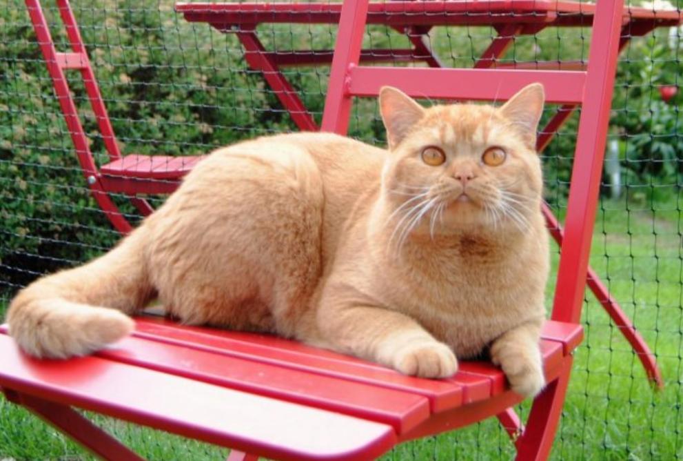 röd katt