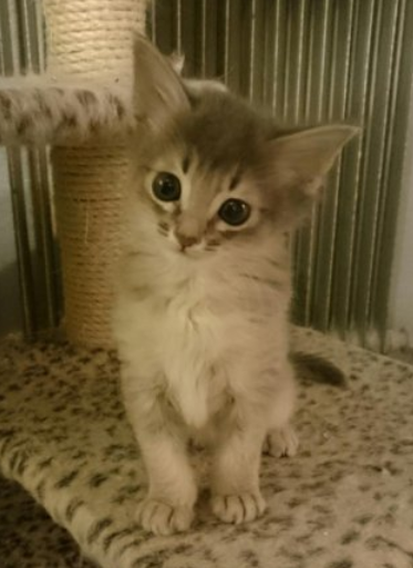 Somali katt