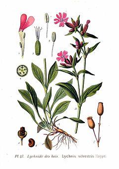 Rödblära vackert ogräs