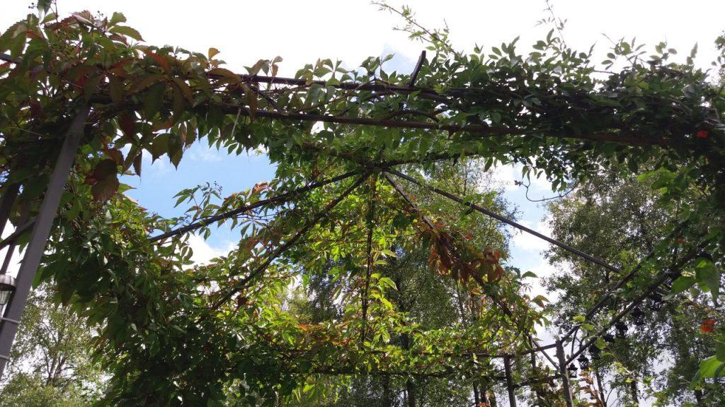 Klätterväxter i paviljong
