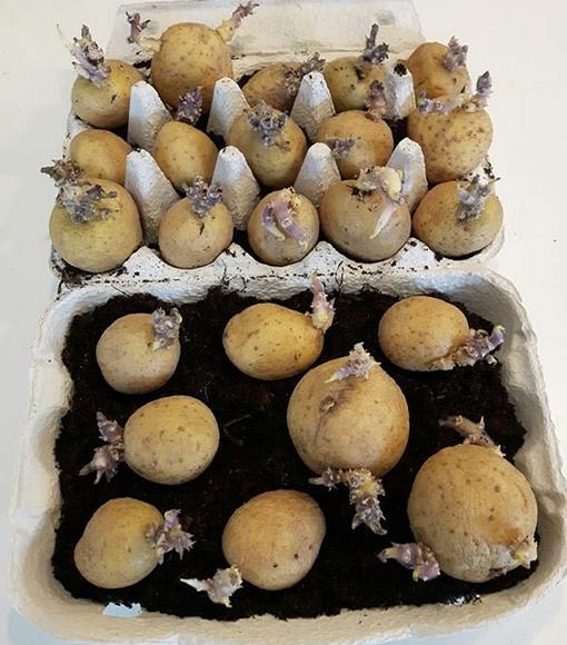 Förodla potatisen