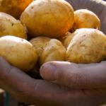 Odla potatis och du blir mätt och rik i själen