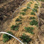 Täckodling med odlingstunnel för säkrare skörd