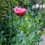 Jag gör så att pionvallmo blommar jag gör hela kohagen grön