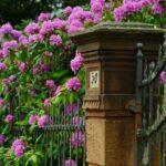 Parkrhododendron är perfekt insynsskydd året runt
